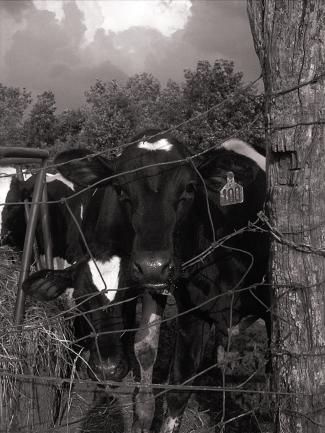 summer-calves-1-1401898 copy